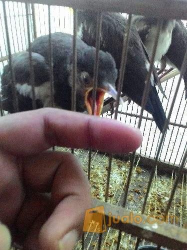 Burung Cipoh Cipeuw Pleci Anakan Jalak Suren Bandung Jualo