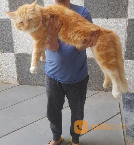 Kucing Maine Coon Peranakan Berbadan Jumbo Besar Jakarta Selatan Jualo