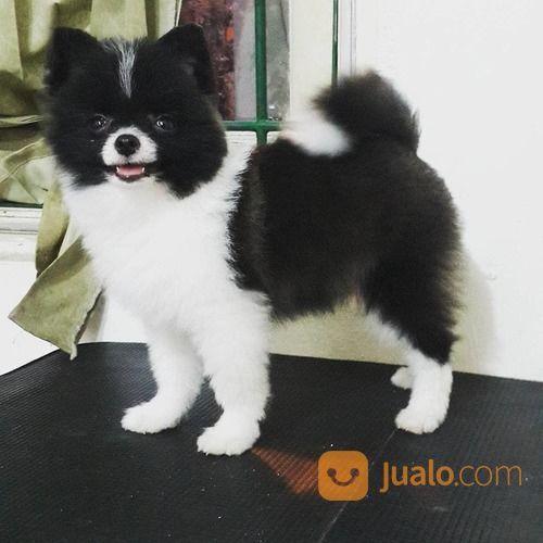 Anjing husky jantan anjing 17052727