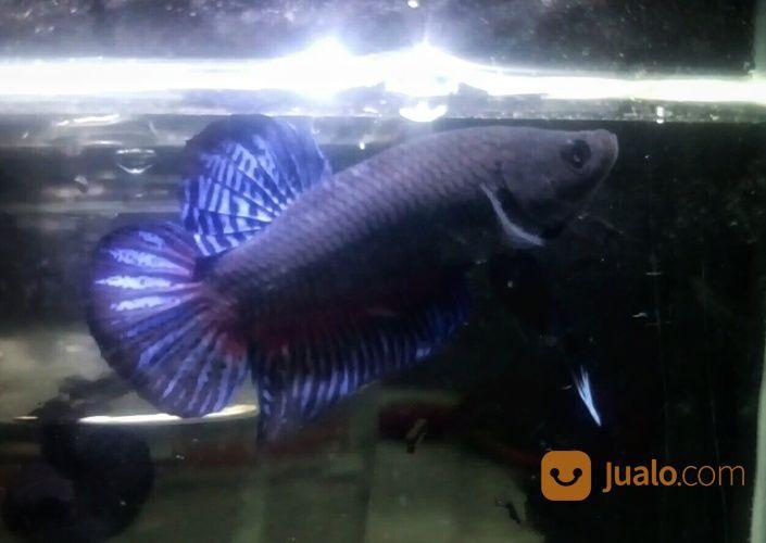 Ikan Cupang Medan Super Depok Jualo
