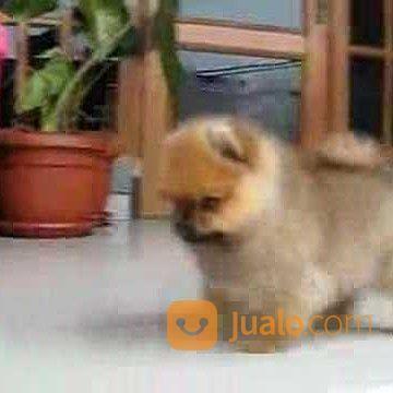 Anjing pomeranian anjing 17058391