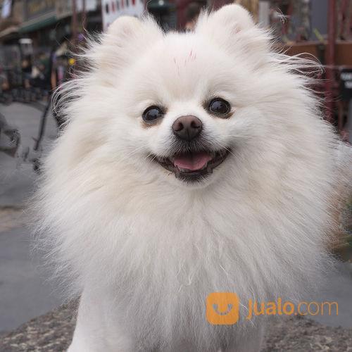 Anjing monipom putih anjing 17071703