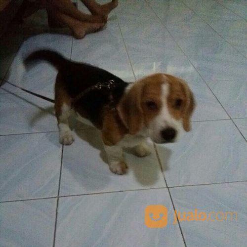 Anjing beagle jantan anjing 17073987