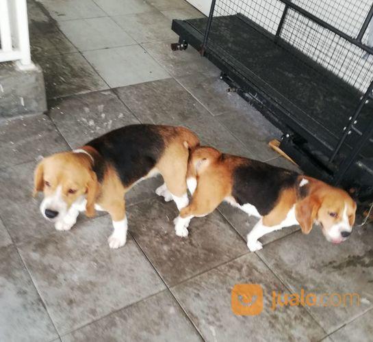 Terima Jasa Pacak Semua Jenis Anjing (17080075) di Parung
