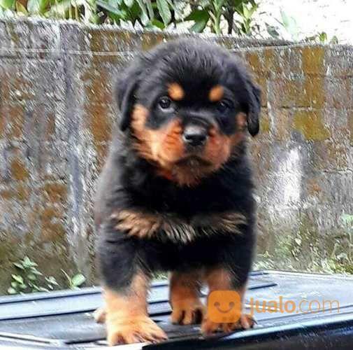 Anjing rotweiller anjing 17171247