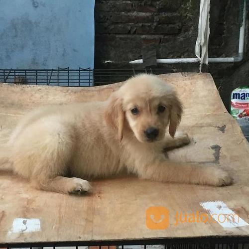 Anjing golden retriev anjing 17171471