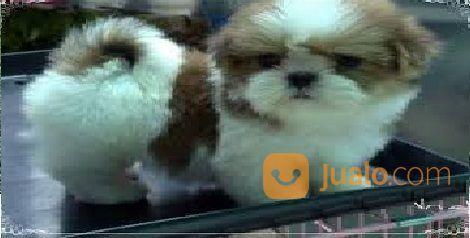 Anjing mini shih tzu anjing 17196019