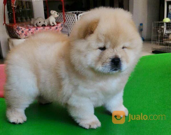 Anjing chow chow anjing 17249015