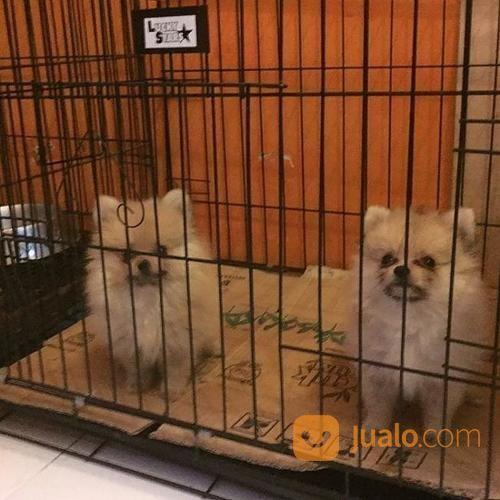 Anjing pomeranian anjing 17249219