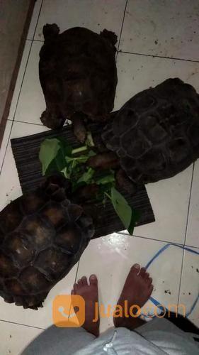 Kura Kura Emys Paker Breeding Ukuran 45up (17348815) di Kota Jakarta Timur