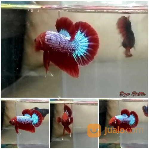 Ikan Cupang Plakat Hellboy Bekasi Jualo