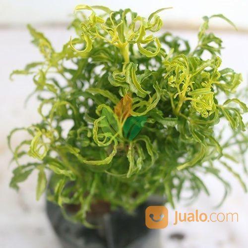 Tanaman Brokoli Hijau Kab Nganjuk Jualo