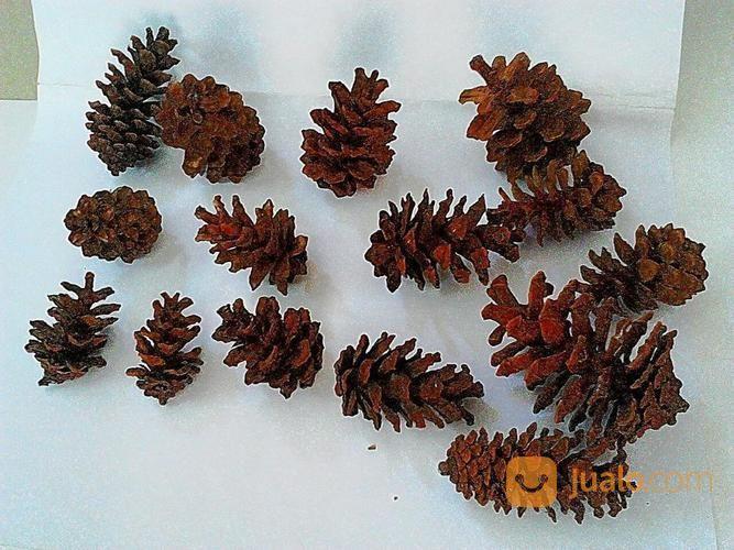 Pinus cone chrismas a hobi dan aktivitas outdoor lainnya 17834675