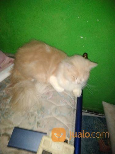 Kucing persia jantan kucing 18211543