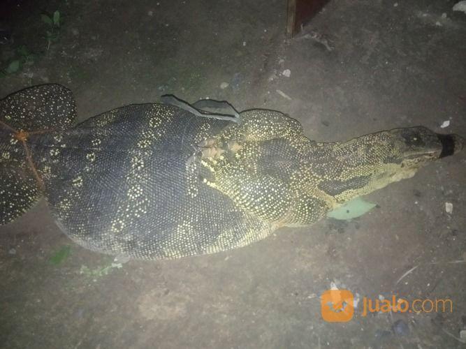 BIAWAK SEGAR 081338736979 Hubungi (18260083) di Kota Tangerang Selatan