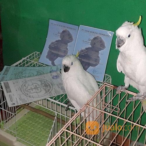 Burung Kakatua Bersertifikat Denpasar Jualo