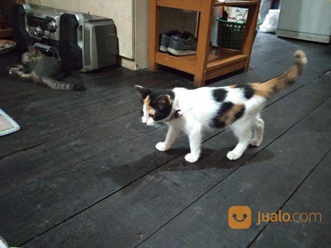 Kucing Campuran Kampung Banjarmasin Jualo