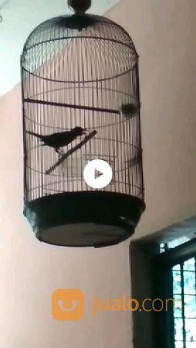 Burung Jalak Rio Rio Jakarta Barat Jualo