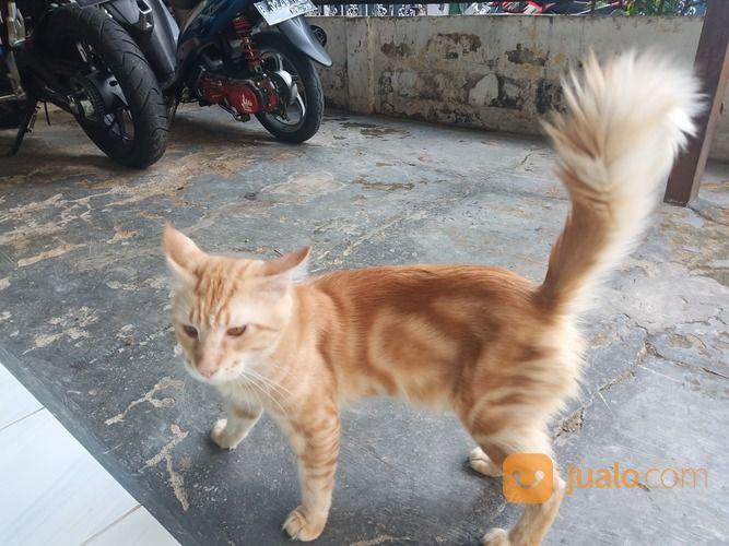 Kucing Mainecoon Sertifikat Cfa Gratis 1 Kucing Mainecoon Nonped Jakarta Selatan Jualo