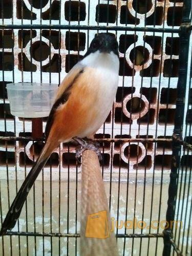 Burung Pentet Toet Murmer Madiun Jualo