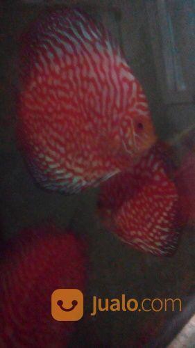 Ikan discus calon ind ikan 18977239