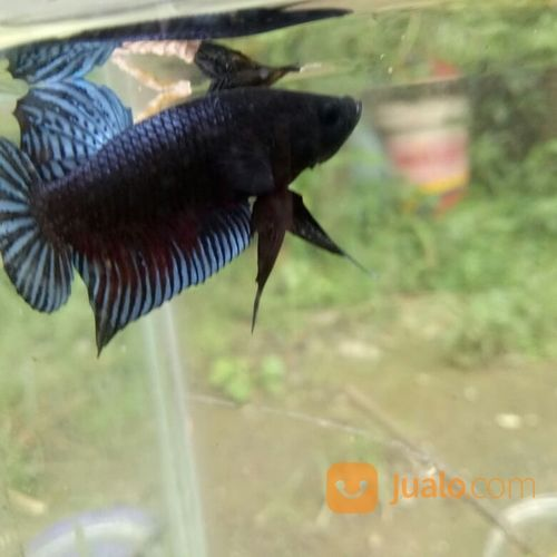 Ikan Cupang Aduan Lokal Seri Kab Bogor Jualo