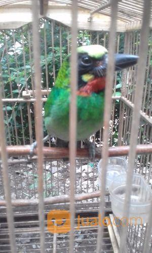 Burung Takur Bultok Kab Garut Jualo