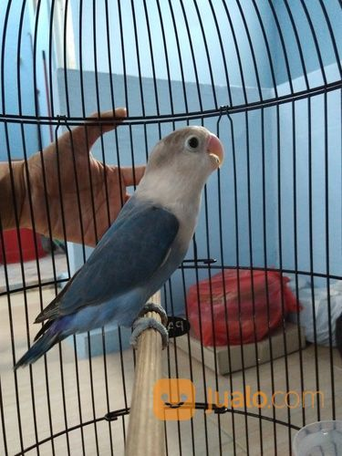 Lovebird Mangsi Fc Surabaya Jualo