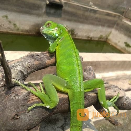 Green Iguana / Iguana Hijau (19468963) di Kota Tangerang Selatan