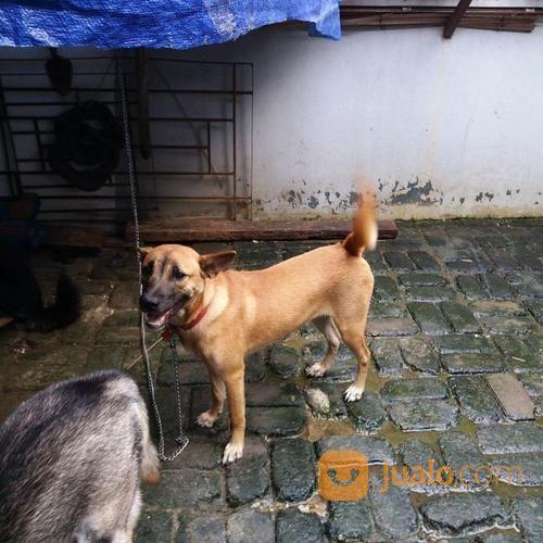 Anjing Mongreal Atau Mixbreed Betina Keemasan (19653171) di Kota Tangerang Selatan