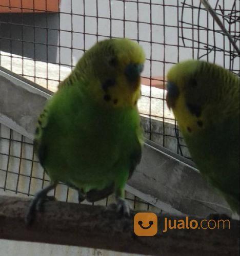 Burung Parkit Holland Dewasa Jakarta Utara Jualo
