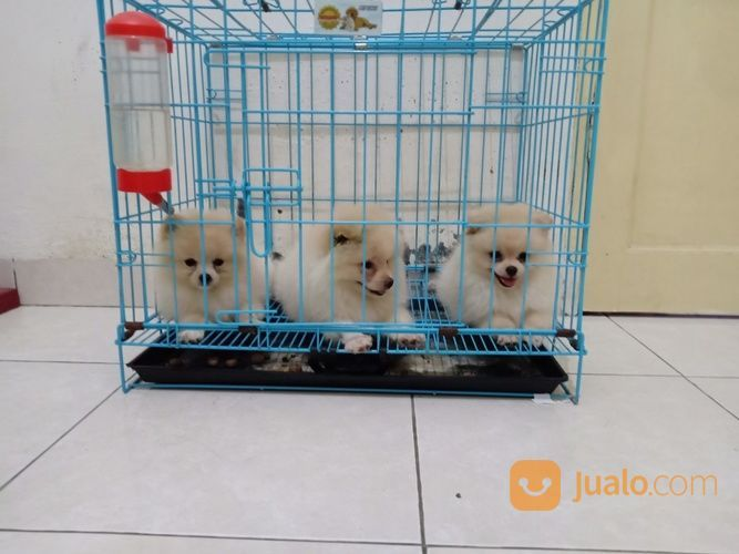 Minipom 3 Ekor Puppy (19851803) di Kota Medan
