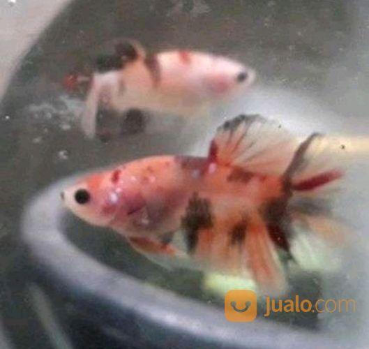 Ikan Cupang Sepasang Nemo Emerald Siap Ternak Jakarta Selatan Jualo