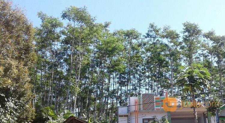 Tanah Murah Dan Sengon Jember (20085855) di Kab. Jember