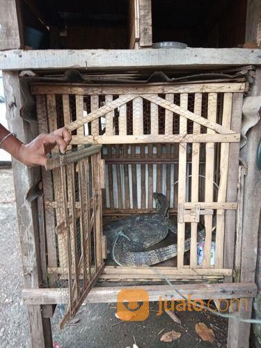 Mahar Biawak Segar Piaraan 081218703839 (20215655) di Kota Jakarta Selatan