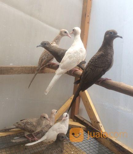 Burung Perkutut Lokal Putih Mata Merah Dll Kab Sidoarjo Jualo