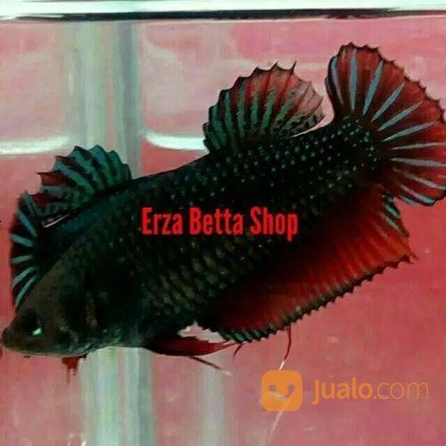 Ikan Cupang Aduan Betina Medan Super Mds Bandung Jualo