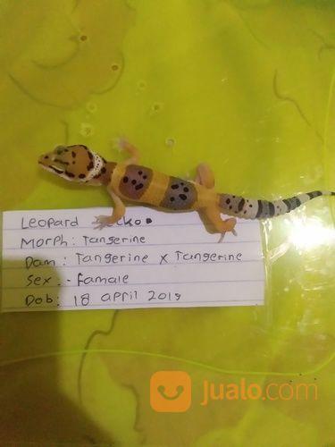 Leopard Gecko B (20482827) di Kota Palembang