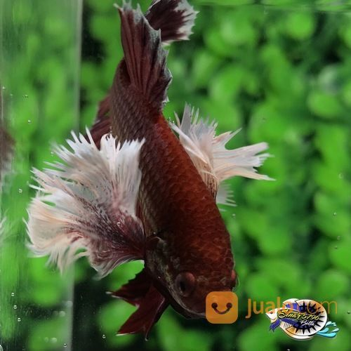 Ikan Cupang Hias Berkualitas Plakat Dumbo Ear Lauvender Medan Jualo