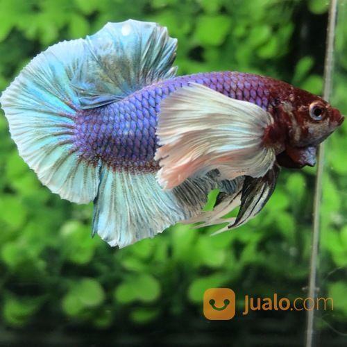 Ikan Cupang Hias Berkualitas Plakat Dumbo Ear Salamander Medan Jualo