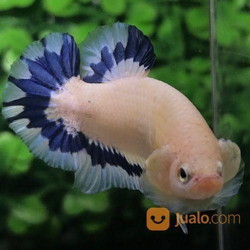Ikan Cupang Hias Berkualitas Plakat Blue Rim Kombinasi Medan Jualo