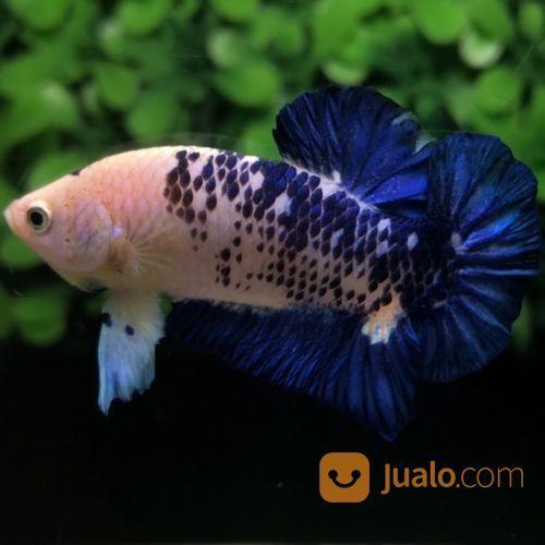 Ikan Cupang Hias Plakat Blue Rim Panda Galaxy Medan Jualo