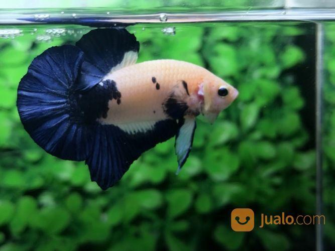 Ikan Cupang Hias Berkualitas Plakat Blue Rim Medan Jualo