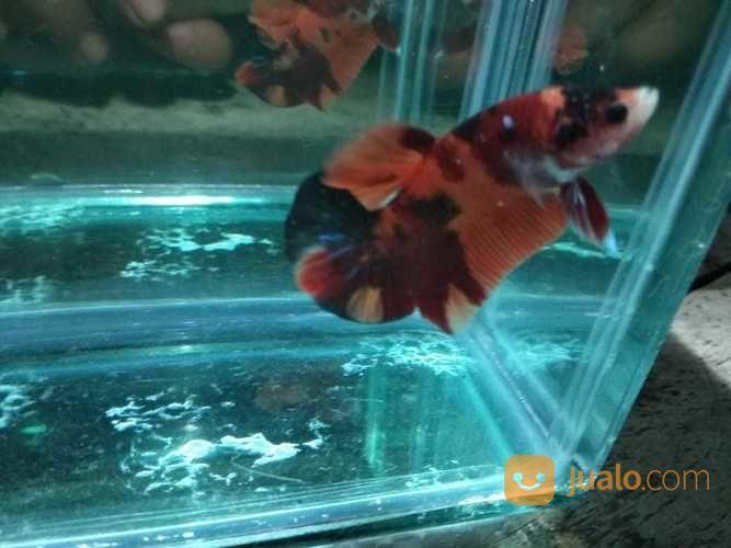 Ikan Cupang Nemo Semarang Jualo