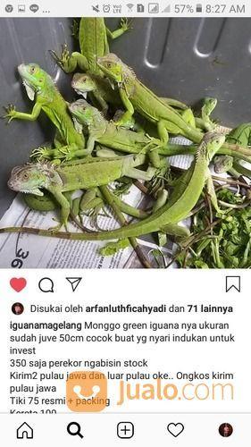 Green Iguana Juve (20665647) di Kota Surabaya