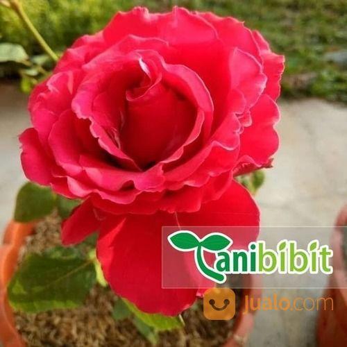 Bibit Tanaman Hias Bunga Mawar Merah Kab Bogor Jualo
