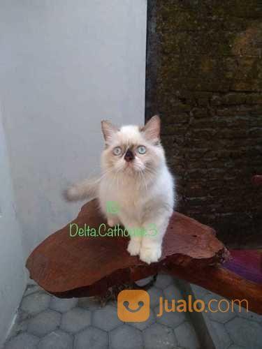 Kucing Ragdoll Jantan (20806747) di Kab. Semarang