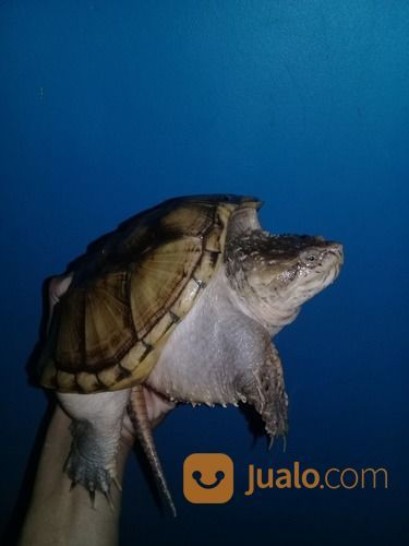 Kura Kura Florida Snapping (Betina) (20807175) di Kab. Bogor