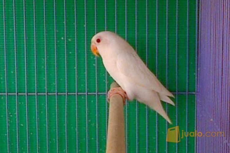 Lovebird Albino Mata Merah Bandar Lampung Jualo