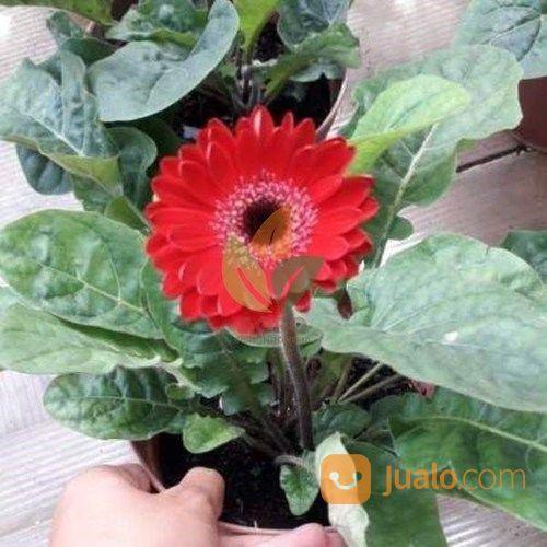 Bibit Bunga Gerbera Merah Kab Nganjuk Jualo